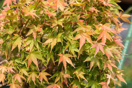 changed: three maple leaves have changed color in fall.