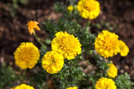 garden marigold: Yellow marigold flower in the garden.,Yellow Marigold flower