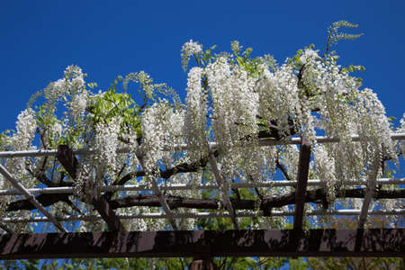 Spring flowers series., wisteria trellis in garden Stock Photo