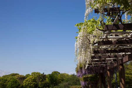 Spring flowers series., wisteria trellis in garden., in motion blur Stock Photo