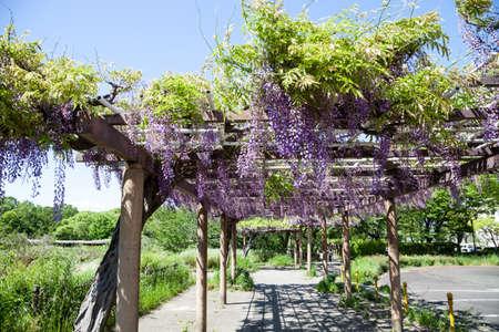 wistaria: Spring flowers series., wisteria trellis in garden., in motion blur Stock Photo