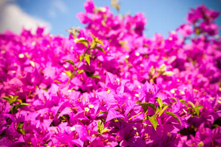 color bougainvillea: pink bougainvillea flowers and blue sky in summer