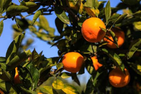Branch orange tree fruits green leaves in Japan. Stock Photo