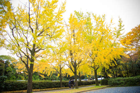 The colorful yellow ginko leaves branch tree., Golden leaves of gingko trees Stock Photo