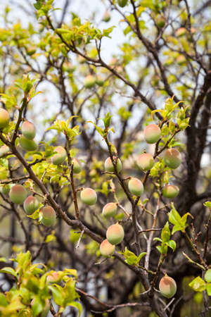 Young green ume plum fruit on a tree., Japan plum. Stok Fotoğraf