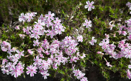 colorful pink moss phlox as background., Pink Moss Flower