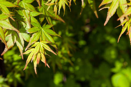 Green maple leaf., three maple leaves have changed color in fall.