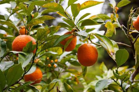 orange trees with fruits on plantation in Japan. Stok Fotoğraf
