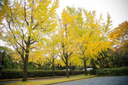 The colorful yellow ginko leaves branch tree., Golden leaves of gingko trees Stok Fotoğraf