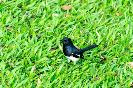 Thai Birds ,Oriental Magpie Robin on grass.