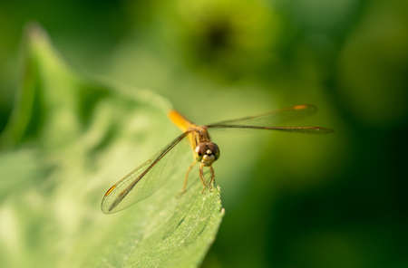 Close up of a dragonfly on the leaf ,Beautiful nature scene Cost-up or Macro picture of dragonfly