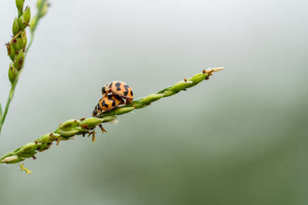 Matrimonial games of the ladybugs couple. Spring love on grass flower Standard-Bild - 115201412