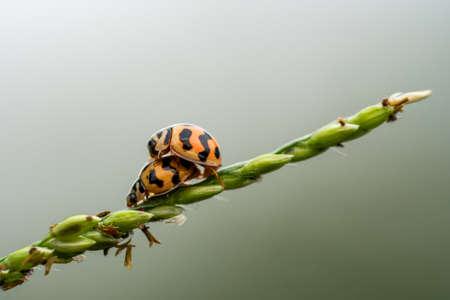Matrimonial games of the ladybugs couple. Spring love on grass flower Standard-Bild - 115201414