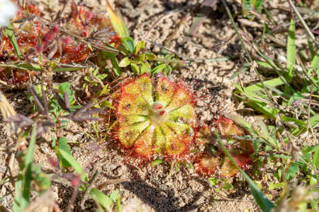 Round-leaved sundew in bloom in a macro shot ,A beautiful sundews