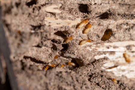 macro termites on decomposing wood. As an enemy of wooden houses as well.