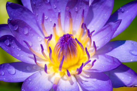 Close up of purple lotus or water lily flower with yellow-purple pollen