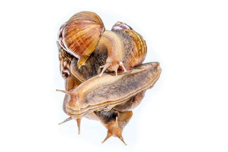 Achatina fulica snail crawling on the mirror , white background Фото со стока