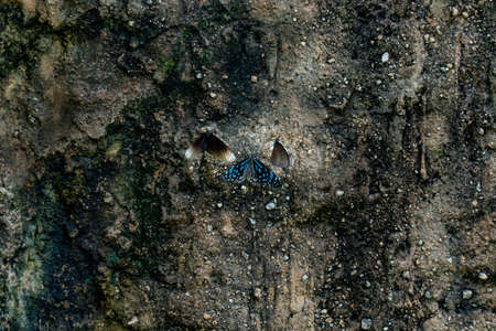 Beautiful blue butterflies set on rocks with lichen