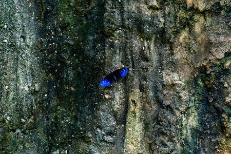 Beautiful blue butterflies set on rocks with lichen
