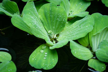 Water drop on water lettuce ( pistia stratiotes linnaeus ) in the pool