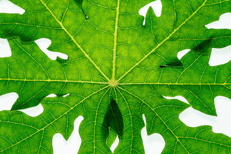 papaya leaf on isolate white background