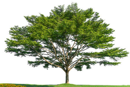 Single large tree, isolated on a white background