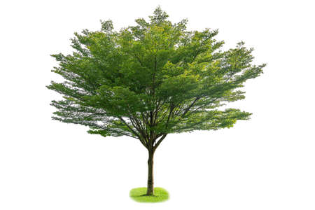 Terminalia ivorensis  , Single large tree, isolated on a white background Imagens