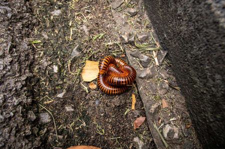 Pair mating millipede, millipedes on ground garden in the rainy