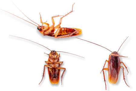 Three cockroaches isolated on a white background