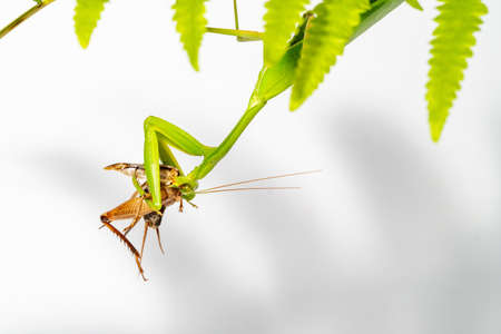 A giant asian mantis is munching on a cricket.Under the leaves