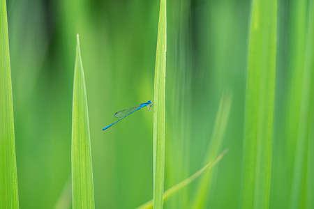 A small blue needle dragonfly on a leaf ,Blurred green background 版權商用圖片