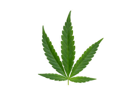 Close up , Cannabis leaf, marijuana isolated over white background ,clipping path