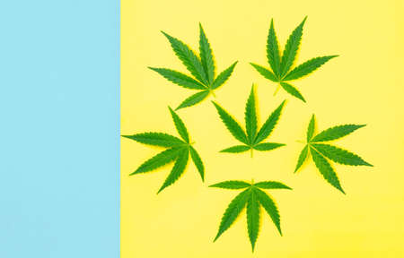 Top view, marijuana trees on a bright background ,on a yellow-blue background