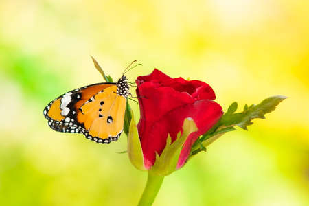 A butterfly on a red rose , On a green background Imagens