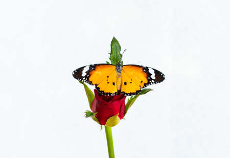 A butterfly on a red rose , On a white background
