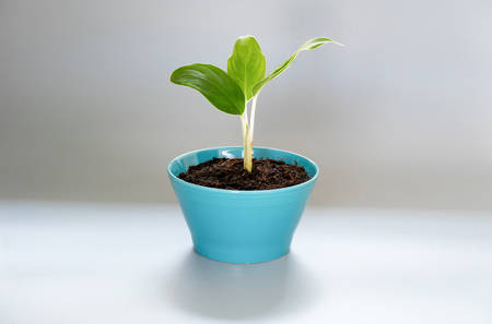 small tree in blue pots , on gray background