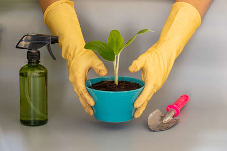 A man wearing yellow gloves lifting a plant pot ,small tree in blue pots , on gray background