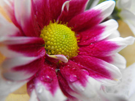 chrysanthemum in raindrops, autumn 2012, Zaporizhzhya, Ukraine photo