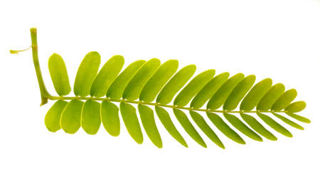Tamarind leaves isolated on white background.Sweet ripe tamarind leaves with healthy fruit. Selective focus and toned image.Tamarind - Sweet as fruits as famous in Phetchabun province, Thailand.