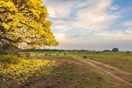 venezuela national tree yellow color called araguaney Banque d'images