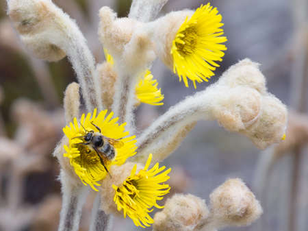bee on Frailejon flowers at the Venezuelan andes