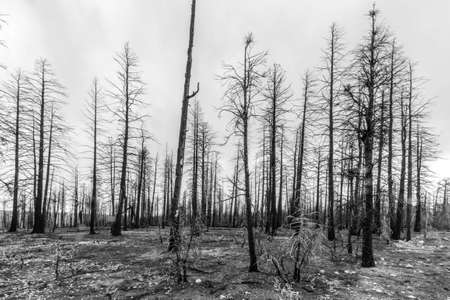 trees burned by great fire Stockfoto