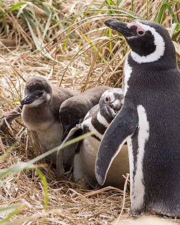 mom penguin with her chicks