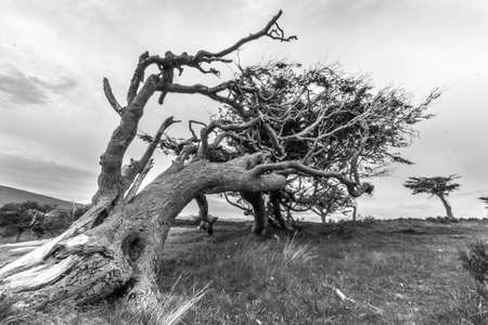 tree twisted by wind that blows all year