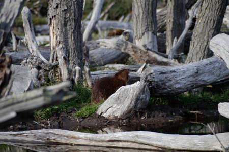 Beaver among remains of trees Stockfoto