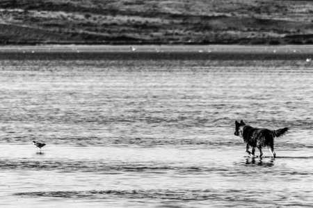 dog in the lake hunting a bird