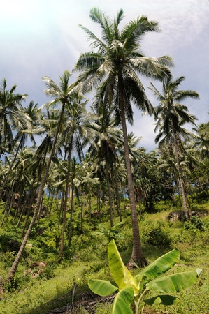 Jungle. Samui island, Thailand Stock Photo - 8294225