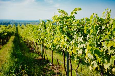 grape field: Vineyard landscape
