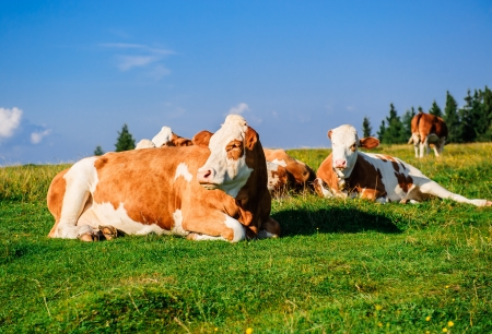 Herd of cows grazing on meadow. Photo taken in Graz, Austria photo