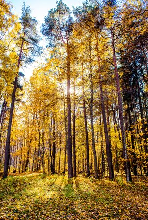 sigulda: Bosque de oto�o Pintoresco iluminada por el sol de la ma�ana Sigulda, Letonia